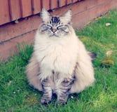 CAT РОДОСЛОВНОЙ RAGDOLL Стоковое Фото