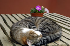 Cat 01. Cat curled up on a wooden table with flowers in background Royalty Free Stock Photography
