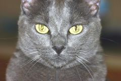 Cat 1. Close up of gray cat face royalty free stock photo