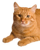The cat. The big red cat on white background Royalty Free Stock Photo