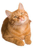The cat. The big red cat on white background Royalty Free Stock Photos