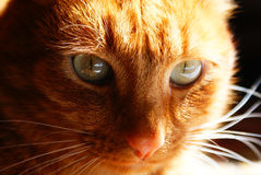 Cat. Ginger cat looking into the eyes of a prey stock photos