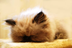 Cat. The persian cat is sleeping on the fur Stock Photo