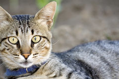 Cat. A very nice striped gray cat stock image