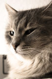 Cat. Soft portrait of an oriental cat with long hair Royalty Free Stock Image
