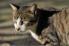 Cat. Close up shot of a domestic cat Stock Images