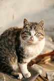 Cat. Alert grey cat staring at people Royalty Free Stock Image