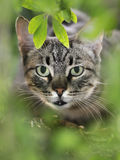 Cat. Close up shot of a domestic cat stock photography