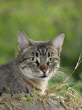 Cat. Close up shot of a domestic cat royalty free stock photos