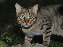 Cat. Close up shot of a domestic cat Stock Image