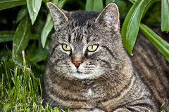 Cat. This image shows a portrait from a cat royalty free stock photo