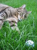 Cat. Playing with ball in grass royalty free stock photography