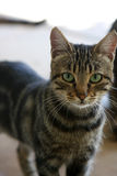 Cat. Close up photo of young tabby cat Royalty Free Stock Image