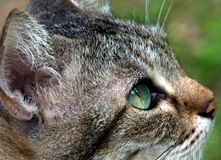 Cat. Close up shot of a cat gazing forward and upward Stock Photos