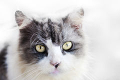 Cat. An adorable grey white cat staring towards the camera stock images