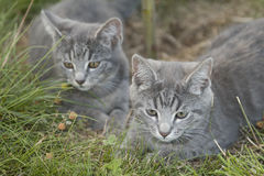 Cat 12. Two cats on a meadow Royalty Free Stock Photos