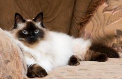 Cat. Beautiful furry cat looking at camera Royalty Free Stock Photo