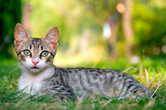 Cat. Portrait of cat laying in the grass (shallow depth of field Royalty Free Stock Photo