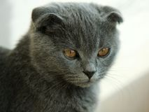 Cat. Scottish Fold Cat Kitten Gaze Lovely Smart Quiet Stock Photo