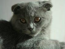 Cat. Scottish Fold Cat Kitten Lovely Gaze Quiet Stock Photography