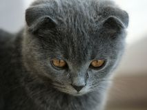 Cat. Scottish Fold Cat Kitten Quiet Gaze Lovely Smart Royalty Free Stock Photo