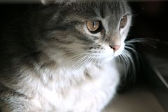 Cat. Scottish Fold Cat Friendly and gentle personality Gaze Quiet Smart Bright Eyes Stock Photography