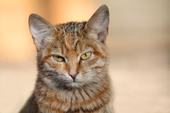 Cat. The head of red cat with green eyes Royalty Free Stock Photo