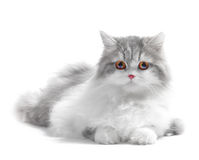 Free Cat Stock Images - 12862194
