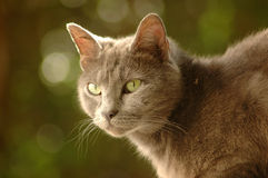 Cat. A beautiful cute domestic little house cat pet head portrait with green yellow eyes watching a mouse in the garden Royalty Free Stock Photography