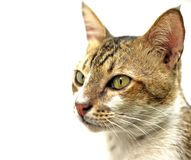 Cat. A young male cat over white royalty free illustration