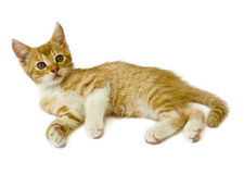 Cat. Sitting red cat isolated on white background Stock Images
