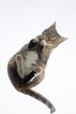 Cat. royalty free stock photos