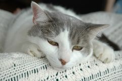 Cat. Domestic cat on the top of the bed Stock Images