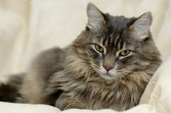 Cat. A long hair cat resting stock photography