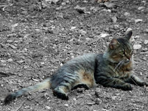 Cat. Pet Cat having a rest in the soil in a garden Royalty Free Stock Images