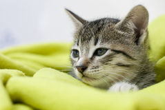 Cat. Sleepy cat wrapped in a green blanket royalty free stock photo
