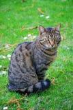 Cat. Royalty Free Stock Image