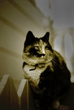 Cat. In Sephia royalty free stock photos