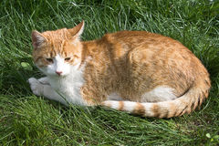 Cat. Domestic cute cat sitting in a very green grass Royalty Free Stock Image