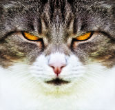 Cat. A photography of a cat with orange eyes Stock Photography