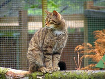 Cat. A Scottish Wildcat Royalty Free Stock Photos