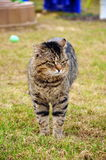Cat. A fat cat on grass Royalty Free Stock Photos