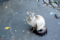 Cat. Lovely cat which has blue eyes Stock Image