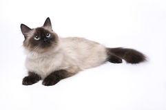 Cat. The cat lies on white background stock image