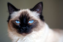 Cat. Portrait of a blue eyed ragdoll Royalty Free Stock Photography