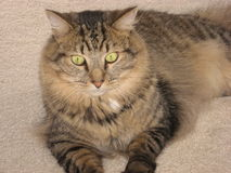 Cat. A domestic long-hair tabby cat sitting wide-eyed on the floor Royalty Free Stock Images