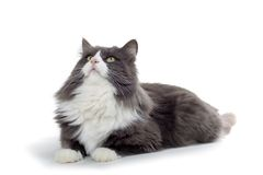 Cat. Brown and white norwegian forest cat laying down and looking up Stock Photo