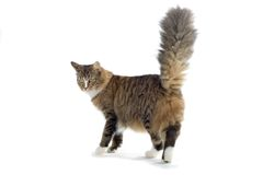 Cat. Norwegian forest cat with his tail up Stock Image