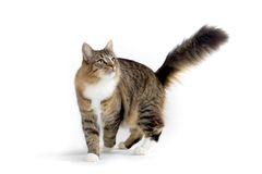 Cat. Turtle norwegian forest cat walking Stock Photos