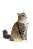Cat. Norwegian forest cat looking up Royalty Free Stock Photo